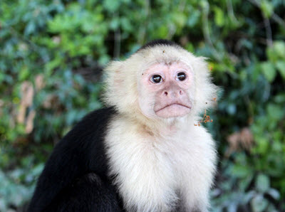 ometepe monkey